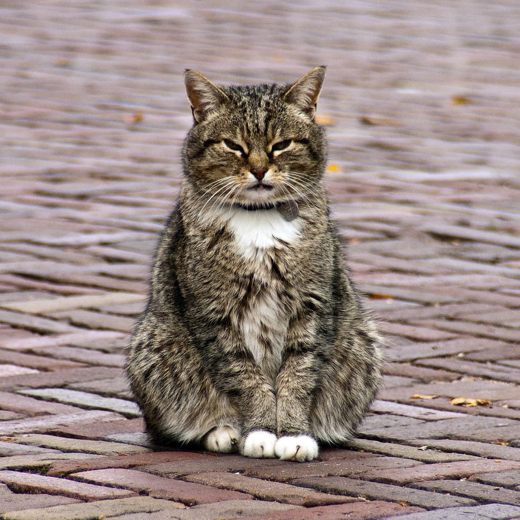 Dutch Cat Sat In The Street During The Kunstmarkt Last