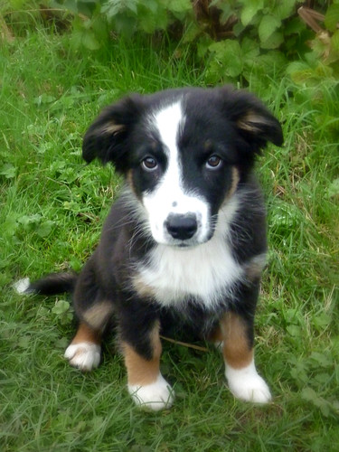how to get papers for my dog australia border collies