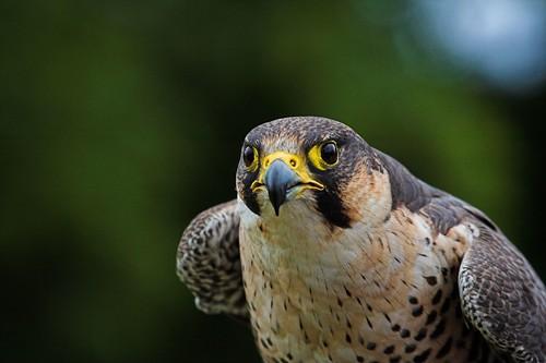 - Falcon -