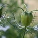 love in a mist pods