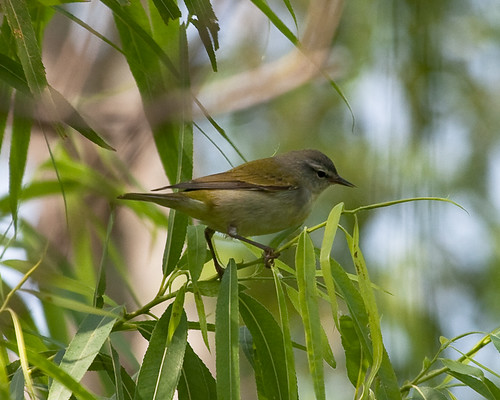 Tennessee Warbler | by no ceiling