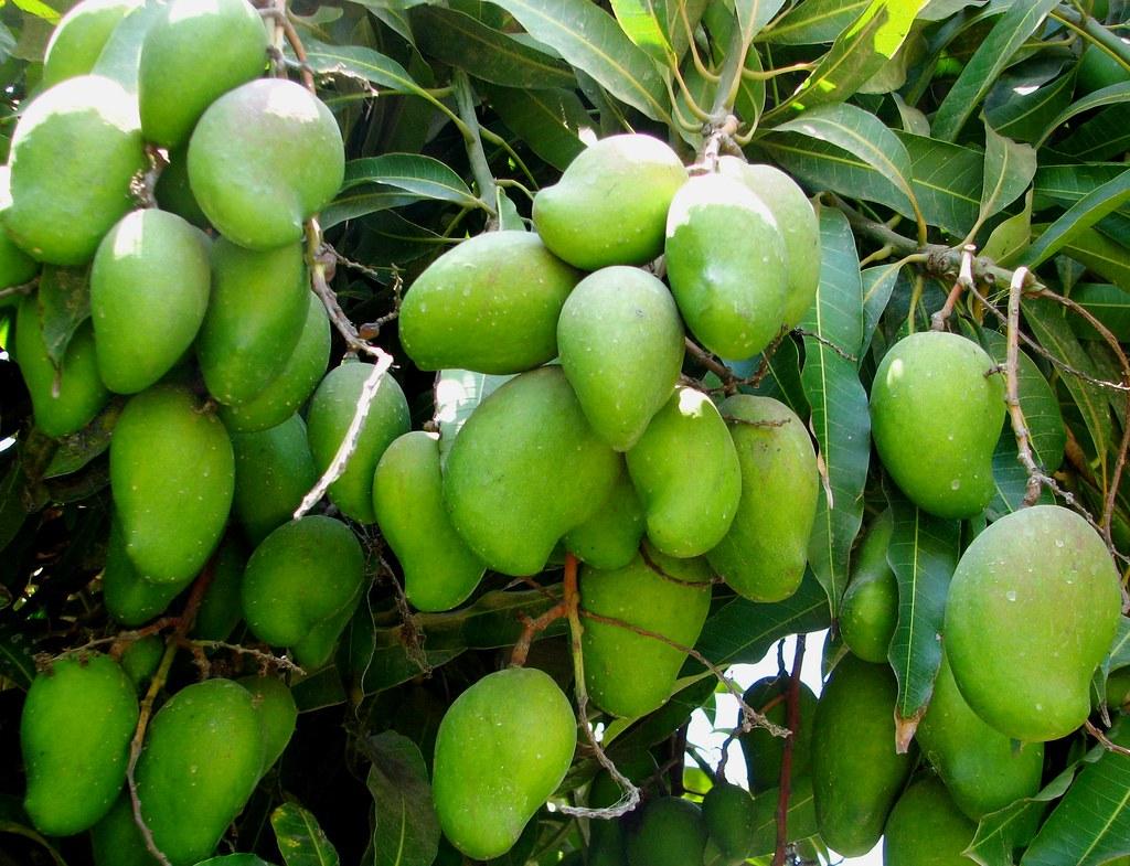 Mangos De Mi Huerta Todos Santos M 233 Xico Ana Rodr 237 Guez