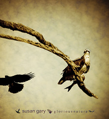 Vintage Osprey | by *GloriousNature*bySusanGaryPhotography