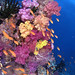 Fiji Reef with anthias