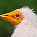 Profile of an Egyptian vulture