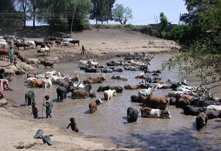 Cattle cool off in the Awash after a long trek