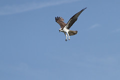 Osprey hovering in search of fish | by Alan Vernon.