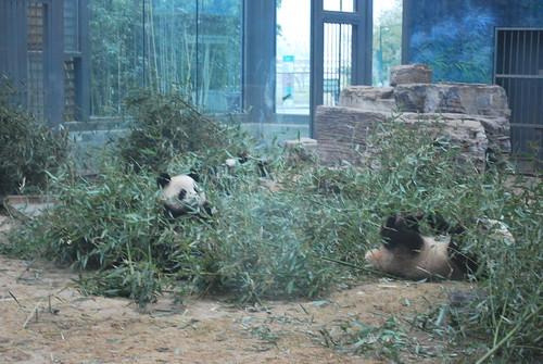Beijing Zoo Bamboo Buffet Mary Helen Leonard Flickr