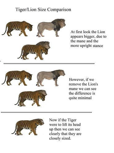 Bengal Tiger/ African Lion Size Comparison | as it says ...