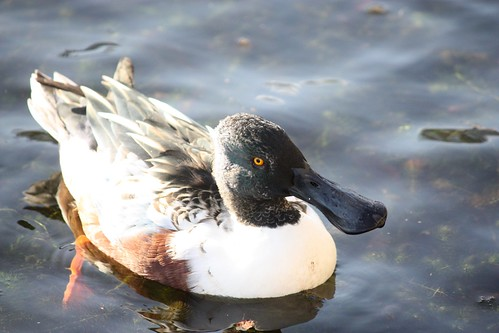 Shoveler (eclipse) | by Anne's creations