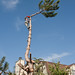 Tree topping and Removal
