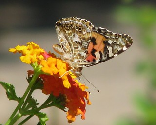12 Days of Christmas Butterflies - #3 Painted Lady, Vanessa cardui | by Vicki's Nature
