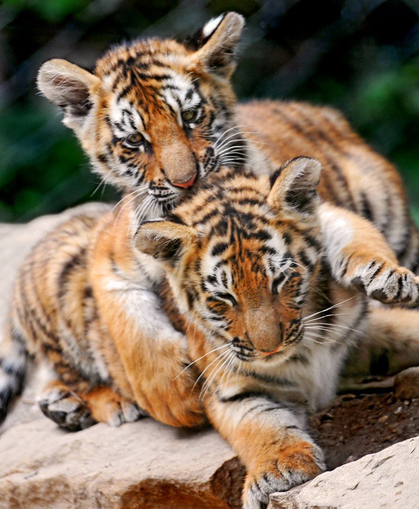 R Tigers «I'm holding you ...
