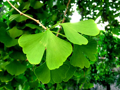 Ginkgo biloba - Maidenhair Tree leaves