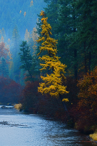 Western Larch | by Montucky