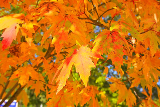 Maples, I Just Love Them | by Franks Photos!