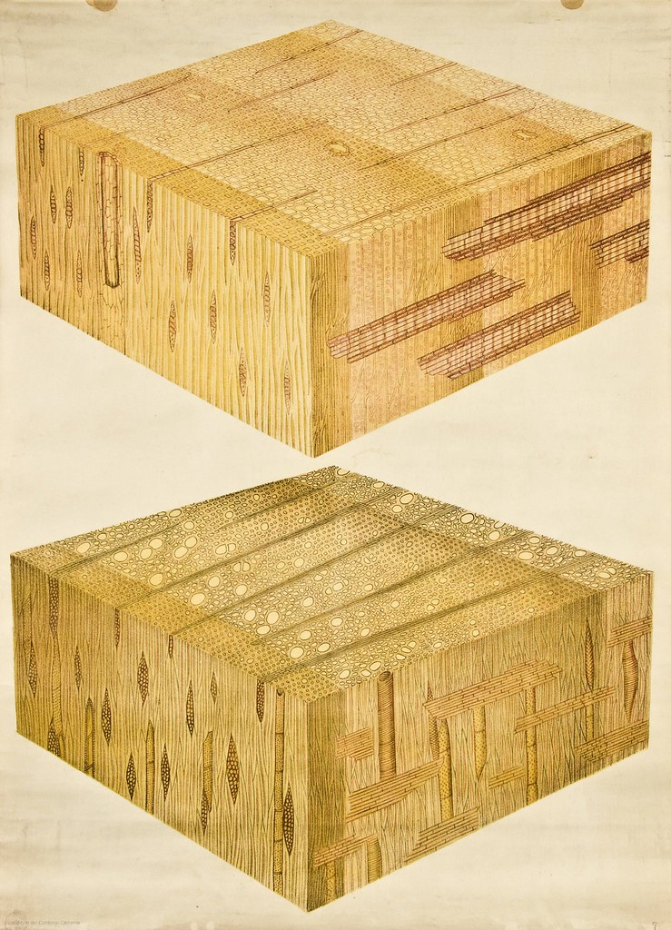 Woody cells of conifer -- Anatomia Vegetal 1929, pub. by F… | Flickr