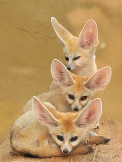 Tower of Fennecs | by Joachim S. Müller