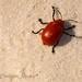 Besouro nas dunas - Lençóis Maranhenses - Maranhão - Brasil