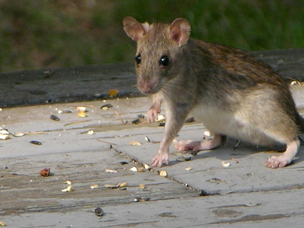 Rattus Rattus Eating Bird Seed On The Deck In Broad
