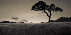 Lone Tree | by Con Thomson