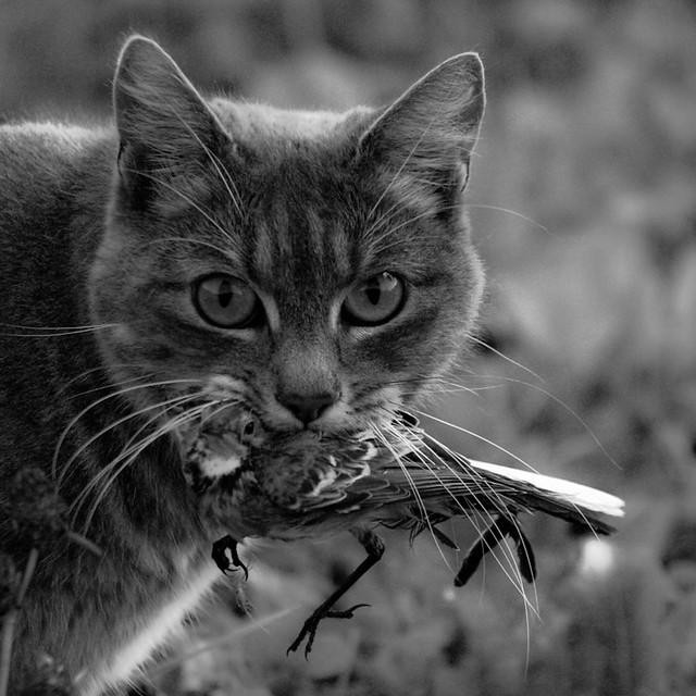 Les chats ont un impact écologique négatif sur les populations d'oiseaux.