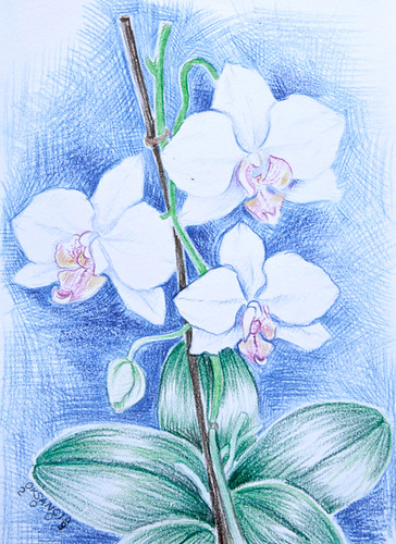 White Orchid Drawing Colored Pencils Drawing Of White