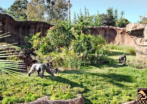 Campo Gorilla Reserve | Photo by Tad Motoyama/Los Angeles Zo… | Flickr