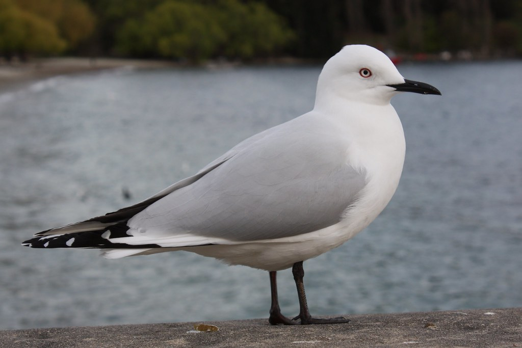Black-Billed Gull