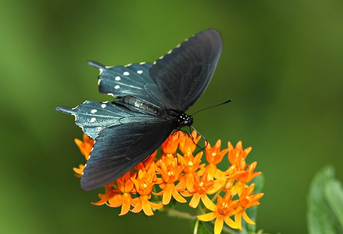 Image of a pipevine swallowtail