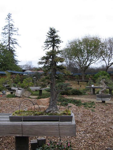 Redwood Bonsai Trees