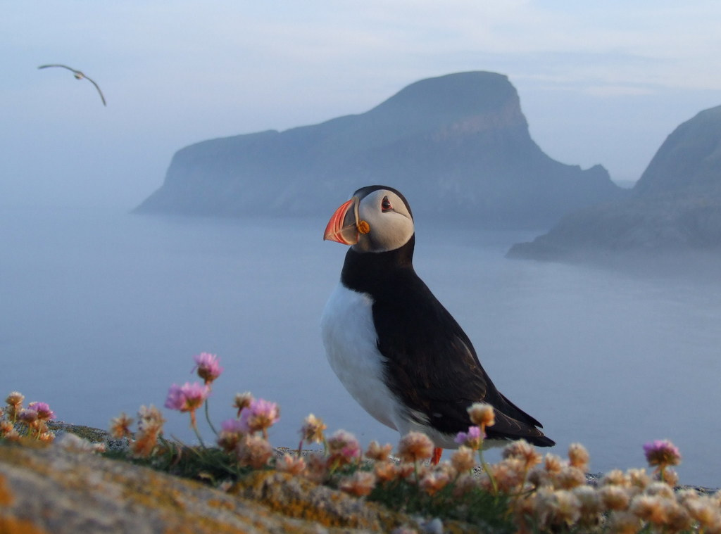 Puffin - Sheep Rock - Fair Isle Bird Shetland | Tommy H Hyndman ...