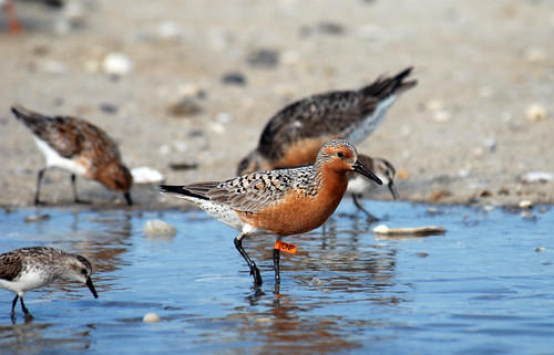 Tagged Red Knot | by U. S. Fish and Wildlife Service - Northeast Region