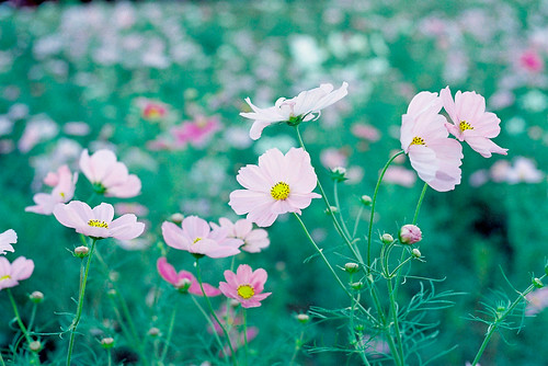Cosmos Dance | by drsato60