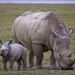 Rhino Mother and Daughter