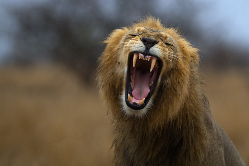 Lion yawn on a rainy day | by Thomas Retterath