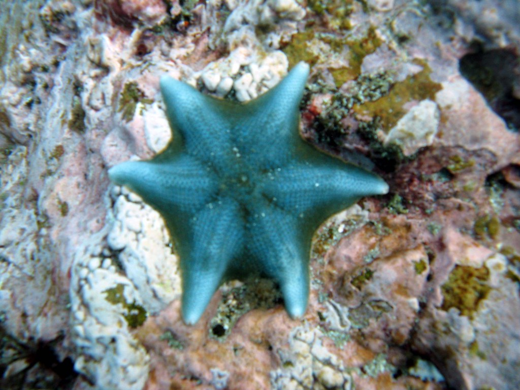 Bat Sea Star | An interesting sea star. This one wasn't as ...