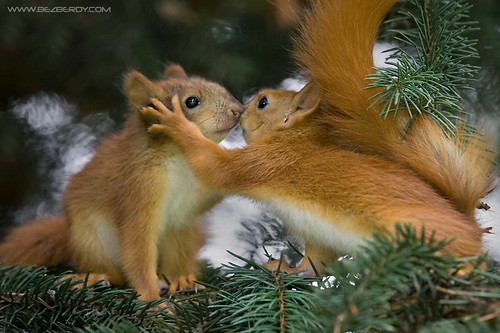Kissing Squirrels | by BEZBERDY