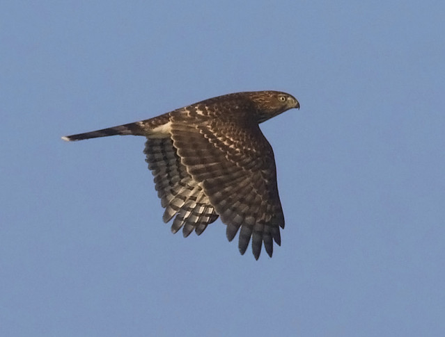 sharpshinned hawk in flight while photographing