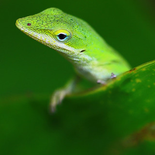 Anole inquiry | by catherinemorrison29