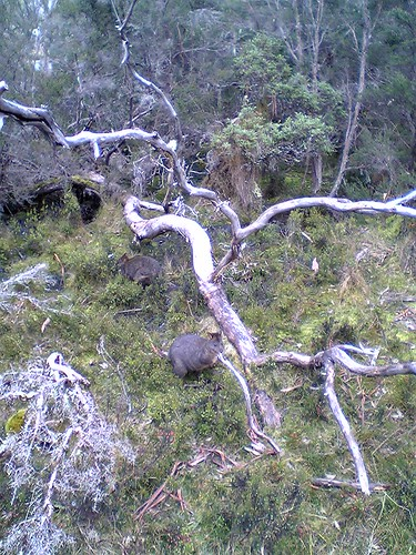 Small marsupial at Cradle Mountain | by tomw99au