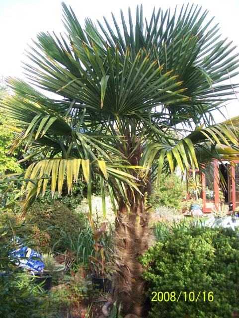 trachycarpus fortunei leonora ellie enking flickr. Black Bedroom Furniture Sets. Home Design Ideas