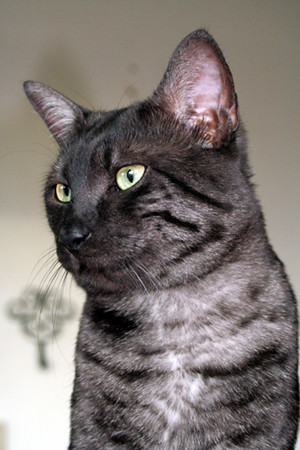 Black Egyptian Mau Cat