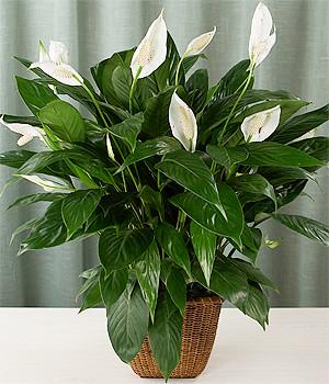 Spathiphyllum wallisii madera jukka heinonen flickr for Plantas decorativas interior venenosas