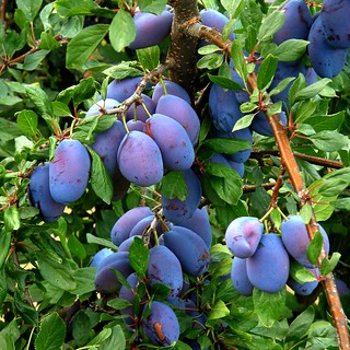 prunes / plums | by OliBac