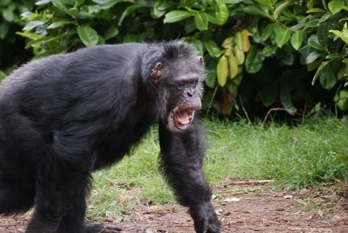 Angry chimpanzee   Taken at Chester zoo   Melissa   Flickr - photo#8