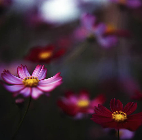 cosmos | by yocca