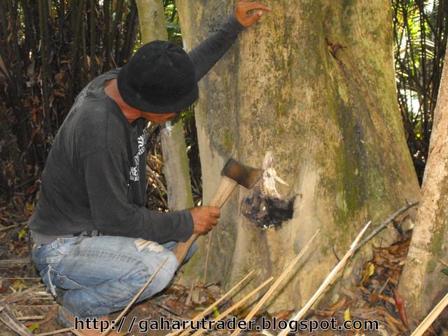 Pokok Gaharu Hutan Pokok Gaharu Hutan 03 | by