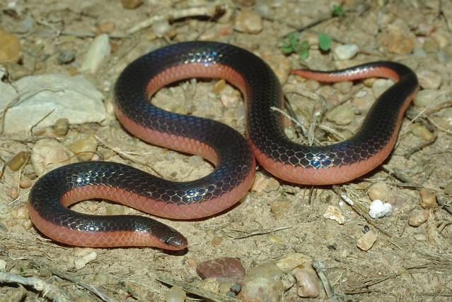 Carphophis vermis - Western Worm SnakeWestern Worm Snake