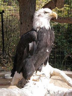 American Bald Eagle | by Potter Park Zoo